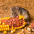 house mouse mus musculus eating corn stock photo © icefront