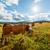 rebanho · vacas · ensolarado · campo · verão · um · animal - foto stock © icefront