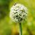 Frühlingszwiebeln · Blume · Zwiebel · andere · Blumen · Textur - stock foto © icefront