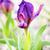 Iris · fiore · di · campo · verde · impianto · bianco · prato - foto d'archivio © igabriela