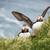 красивой · птица · Исландия · символ · животного · довольно - Сток-фото © iko