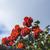 Toskana · çiçekler · zarif · yol · göstermek · çiçek - stok fotoğraf © imagedb