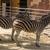 chapmans zebras equus quagga chapmani in a zoo stock photo © imagedb