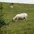 牛 · 半島 · アイルランド · 自然 · ファーム - ストックフォト © imagedb