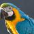 mavi · sarı · Namibya · Afrika · kuş · hayvan - stok fotoğraf © imagex