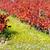 vörösbor · szőlő · növekvő · öreg · szőlőtőke · közelkép - stock fotó © inaquim