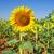 giallo · campo · girasoli · luminoso · cielo · blu · nubi - foto d'archivio © inaquim