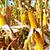 milho · crescente · seca · verde · campo - foto stock © inaquim