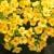 黄色 · ジューシーな · マクロ · ショット - ストックフォト © inxti