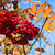 autumn berries on a background of blue sky stock photo © inxti