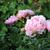 jardim · rosa · verão · caminho · flor - foto stock © inxti