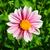roze · dahlia · bloem · geïsoleerd · witte - stockfoto © inxti