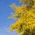evergreen · albero · corteccia · texture · tramonto · muro - foto d'archivio © inxti