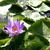 real lake with lotus flowers wild nature oriental stock photo © iordani