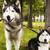 sétál · farkas · kutya · természet · szabadság · vezető - stock fotó © iordani