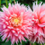 dahlia pink and yellow flowers in point defiance park in tacoma stock photo © iriana88w