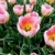 mooie · roze · tulp · bloemen · gras · blauwe · hemel - stockfoto © iriana88w