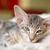 pequeño · gatito · puro · raza · moderna · sesión - foto stock © ivonnewierink