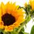 girasoles · ramo · naturaleza · amarillo · blanco · fondo - foto stock © ivonnewierink