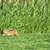 hare eating mowed grass in meadows stock photo © ivonnewierink