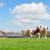 brown white cows stock photo © ivonnewierink