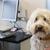 branco · poodle · veterinário · cão · médico - foto stock © ivonnewierink
