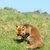 rouge · Fox · photos · sauvage · chien - photo stock © ivonnewierink