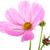 roze · bloemen · veld · Thailand · bloem · landschap - stockfoto © ivonnewierink