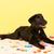 kereszt · fajta · kutya · fektet · konfetti · citromsárga - stock fotó © ivonnewierink