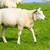 羊 · 多くの · 白 · 草 · 動物 · 灯台 - ストックフォト © ivonnewierink