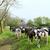 typical dutch cows stock photo © ivonnewierink