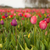 Colorful fields with Tulips stock photo © ivonnewierink