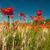 sok · piros · pipacsok · mező · tavasz · virág - stock fotó © ivonnewierink