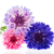 three colors cornflowers stock photo © ivonnewierink