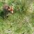 rouge · Fox · côté · portrait · visage · belle - photo stock © ivonnewierink
