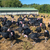 fazenda · pássaro · vermelho · carne · animal - foto stock © ivonnewierink