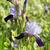 fioritura · Iris · giardino · fiori · casa · primavera - foto d'archivio © ivonnewierink