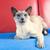 синий · точки · сиамские · кошки · взрослый · скамейке · кошки - Сток-фото © ivonnewierink