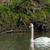 néma · hattyú · toll · madarak · folyó · fekete - stock fotó © ivonnewierink