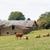 vacas · dois · campo · blue · sky · branco · nuvens - foto stock © ivonnewierink