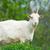 white goat stock photo © ivonnewierink