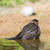 common blackbird in water stock photo © ivonnewierink