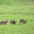 running european hares stock photo © ivonnewierink