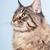 maine coon cat on blue stock photo © ivonnewierink