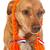 hollanda · kahverengi · çapraz · köpek · komik - stok fotoğraf © ivonnewierink
