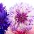 blue and pink corn flowers stock photo © ivonnewierink