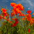 czerwony · maki · Błękitne · niebo · chmury · wiosną · charakter - zdjęcia stock © ivonnewierink