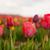 colorido · holandês · tulipas · branco - foto stock © ivonnewierink