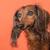 tacskó · narancs · hosszú · hajú · portré · állat · díszállat - stock fotó © ivonnewierink