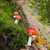 champignon · Rood · witte · vliegen · natuur · bos - stockfoto © ivonnewierink